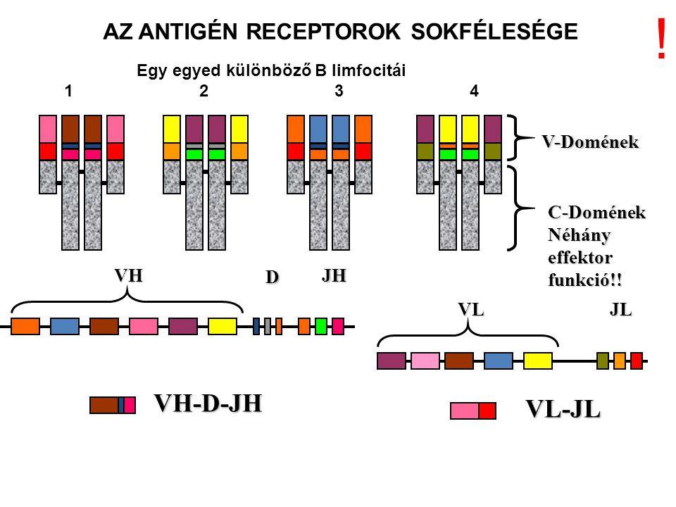 VH D JH VLJL V-Domének C-Domének Néhány effektor funkció!! VH-D-JH VL-JL AZ ANTIGÉN RECEPTOROK SOKFÉLESÉGE Egy egyed különböző B limfocitái 1234 !