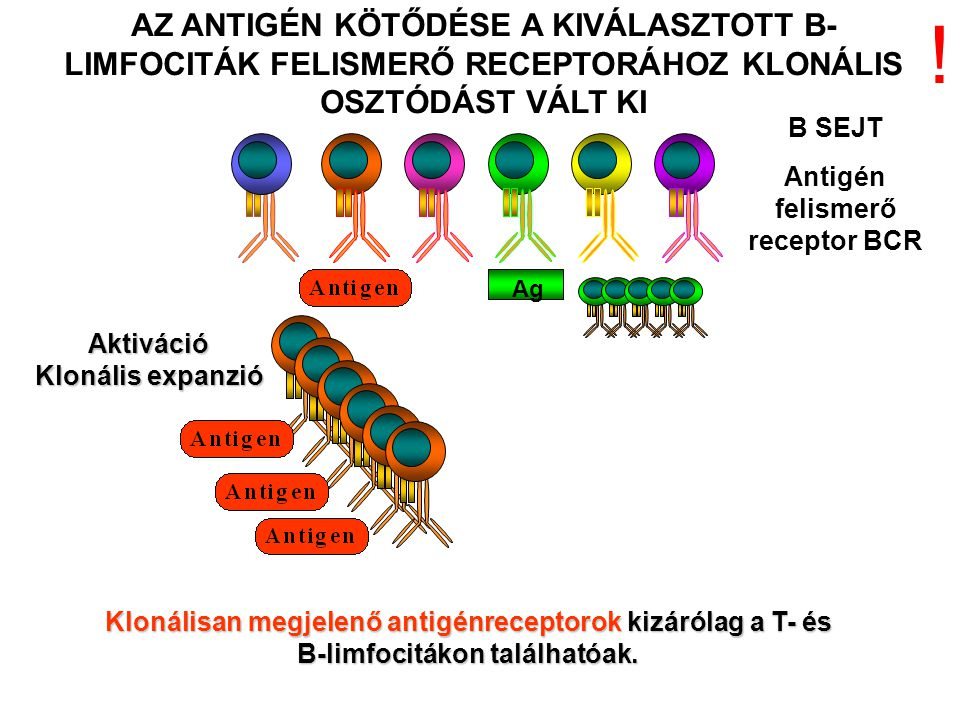Aktiváció Klonális expanzió AZ ANTIGÉN KÖTŐDÉSE A KIVÁLASZTOTT B- LIMFOCITÁK FELISMERŐ RECEPTORÁHOZ KLONÁLIS OSZTÓDÁST VÁLT KI B SEJT Antigén felismer