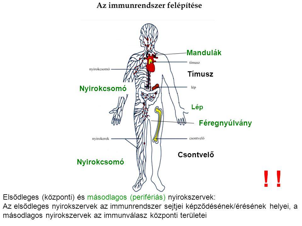 Tímusz Lép Csontvelő Nyirokcsomó Mandulák Féregnyúlvány Elsődleges (központi) és másodlagos (perifériás) nyirokszervek: Az elsődleges nyirokszervek az immunrendszer sejtjei képződésének/érésének helyei, a másodlagos nyirokszervek az immunválasz központi területei !!