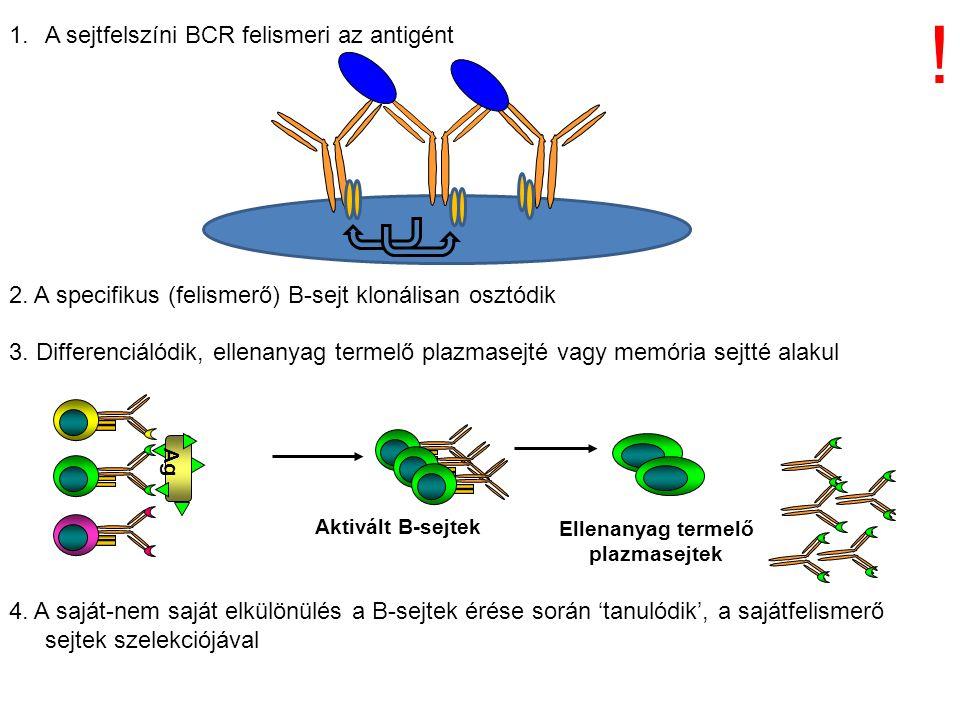 1.A sejtfelszíni BCR felismeri az antigént 2. A specifikus (felismerő) B-sejt klonálisan osztódik 3. Differenciálódik, ellenanyag termelő plazmasejté