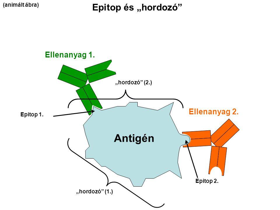 """Epitop és """"hordozó"""" Ellenanyag 1. Ellenanyag 2. Epitop 1. """"hordozó"""" (1.) Epitop 2. """"hordozó"""" (2.) Antigén (animált ábra)"""
