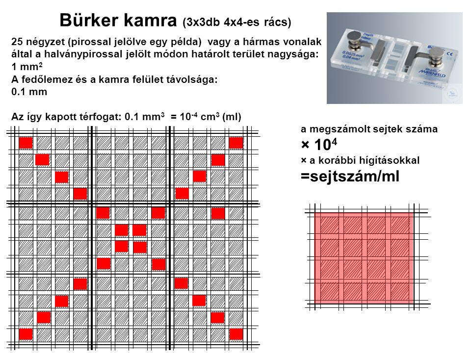 a megszámolt sejtek száma × 10 4 × a korábbi hígításokkal =sejtszám/ml 25 négyzet (pirossal jelölve egy példa) vagy a hármas vonalak által a halványpi