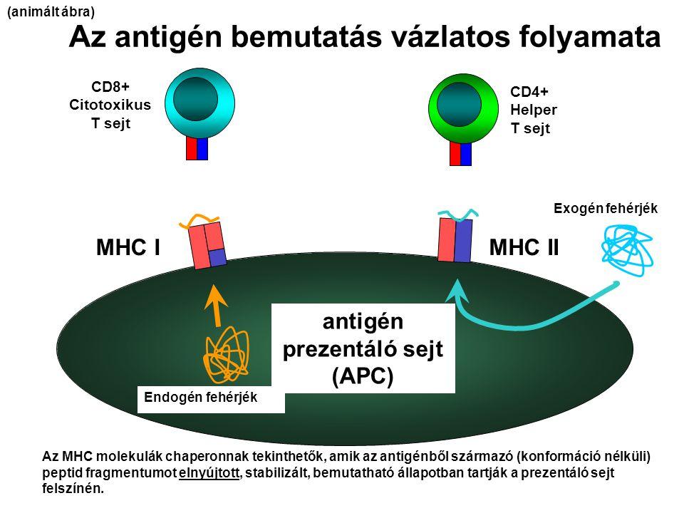 Az antigén bemutatás vázlatos folyamata antigén prezentáló sejt (APC) MHC IMHC II CD8+ Citotoxikus T sejt CD4+ Helper T sejt Endogén fehérjék Exogén f