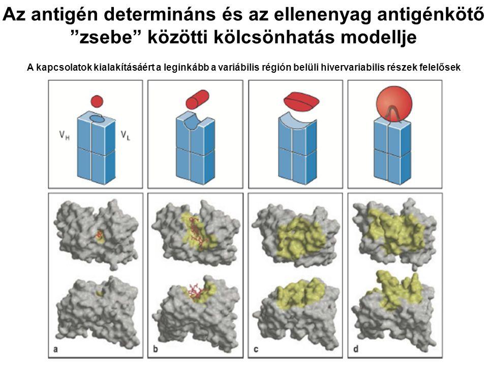 """Az antigén determináns és az ellenenyag antigénkötő """"zsebe"""" közötti kölcsönhatás modellje A kapcsolatok kialakításáért a leginkább a variábilis régión"""