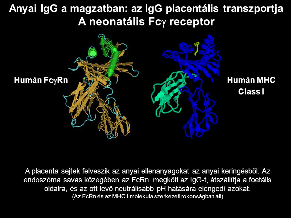 Anyai IgG a magzatban: az IgG placentális transzportja A neonatális Fc  receptor Humán Fc  RnHumán MHC Class I A placenta sejtek felveszik az anyai