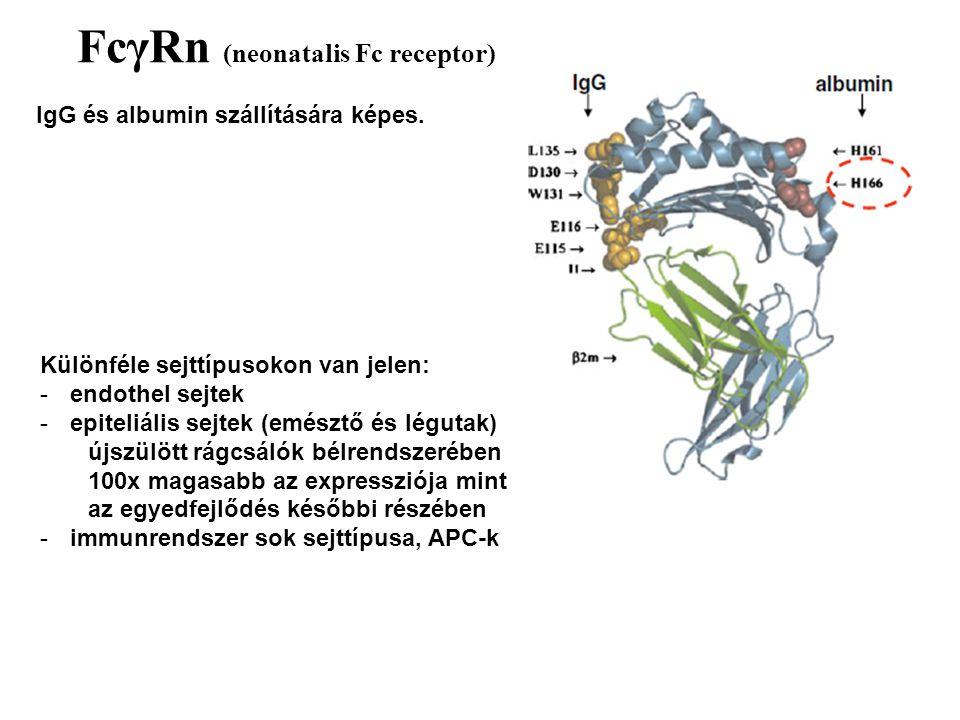 FcγRn (neonatalis Fc receptor) IgG és albumin szállítására képes. Különféle sejttípusokon van jelen: -endothel sejtek -epiteliális sejtek (emésztő és
