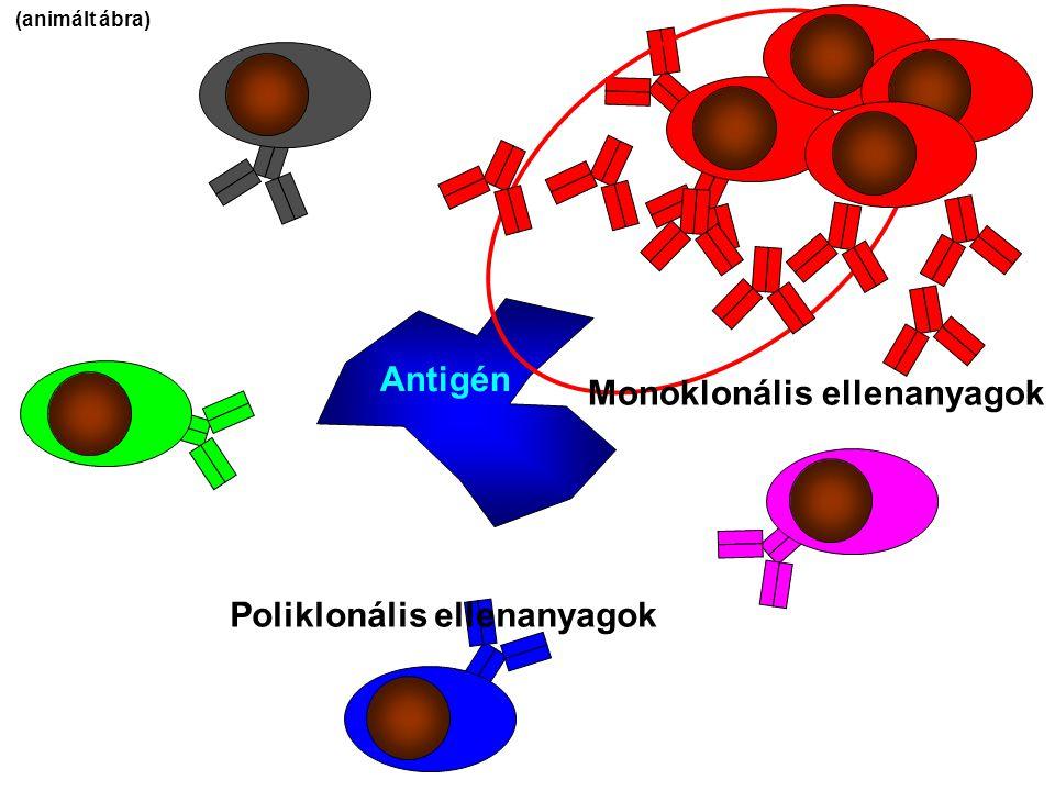 Antigén Poliklonális ellenanyagok Monoklonális ellenanyagok (animált ábra)