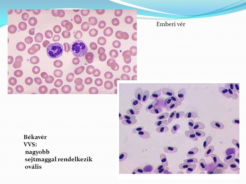 Békavér VVS: nagyobb sejtmaggal rendelkezik ovális Emberi vér