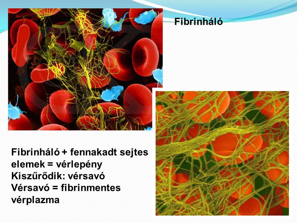Fibrinháló Fibrinháló + fennakadt sejtes elemek = vérlepény Kiszűrődik: vérsavó Vérsavó = fibrinmentes vérplazma