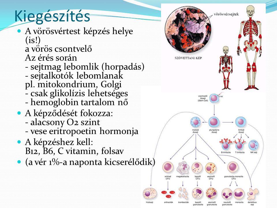 Kiegészítés A vörösvértest képzés helye (is!) a vörös csontvelő Az érés során - sejtmag lebomlik (horpadás) - sejtalkotók lebomlanak pl. mitokondrium,