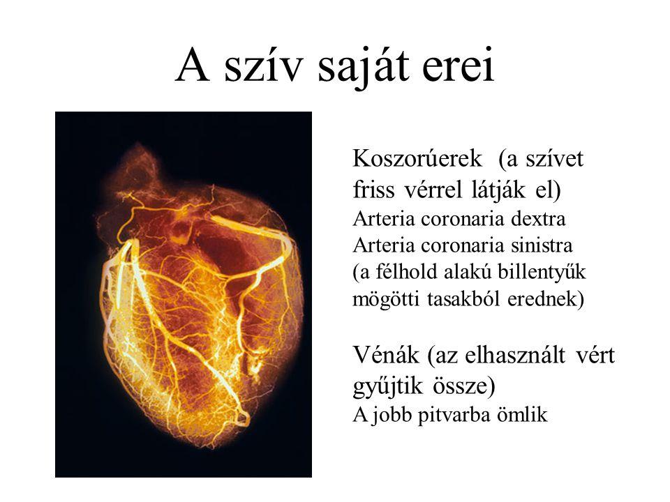 A szív saját erei Koszorúerek (a szívet friss vérrel látják el) Arteria coronaria dextra Arteria coronaria sinistra (a félhold alakú billentyűk mögött