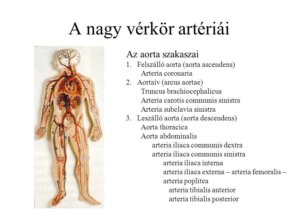 A nagy vérkör artériái Az aorta szakaszai 1.Felszálló aorta (aorta ascendens) Arteria coronaria 2.Aortaív (arcus aortae) Truncus brachiocephalicus Art