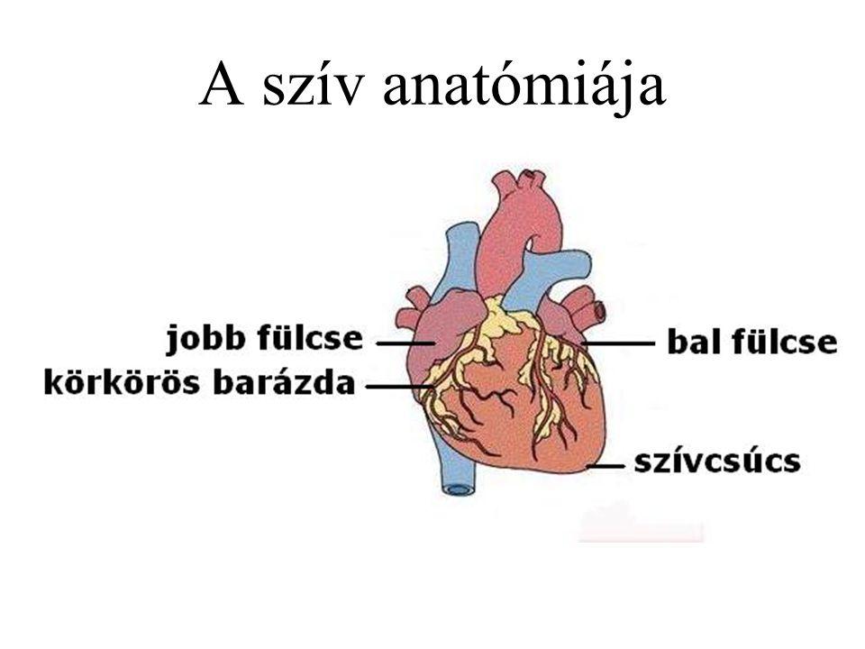 Vér (sanguis) Folyékony szövet Kapcsolat a külvilág és a sejtek között A testsúly 7,5 – 8%-a Felnőtt vérének mennyisége 5 – 5,5 liter Gyengén lúgos vegyhatású (pH: 7,34 – 7,42)