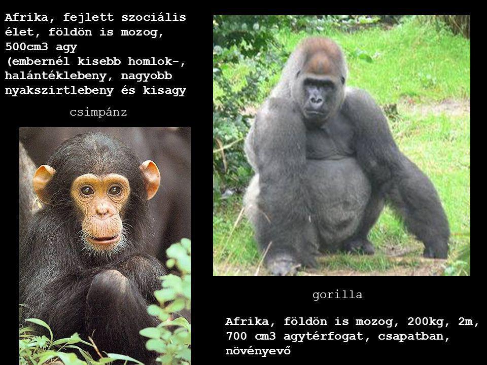 csimpánz gorilla Afrika, fejlett szociális élet, földön is mozog, 500cm3 agy (embernél kisebb homlok-, halántéklebeny, nagyobb nyakszirtlebeny és kisa