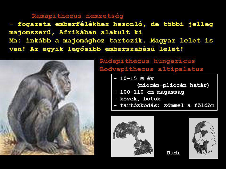 Ramapithecus nemzetség – fogazata emberfélékhez hasonló, de többi jelleg majomszerű, Afrikában alakult ki Ma: inkább a majomághoz tartozik. Magyar lel