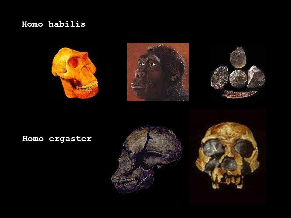 Homo habilis Homo ergaster