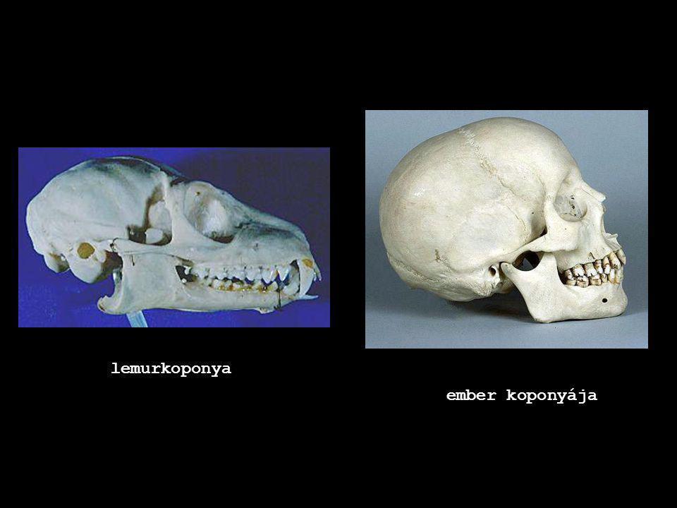 lemurkoponya ember koponyája
