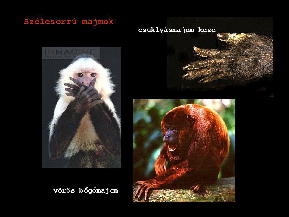 keskenyorrú majmok cerkófok (pávián, makákó, bundermajom) Emberszerűek: Emberfélék családja Emberszabású majmok családja (gibbon, orangután, gorilla, csimpánz) galléros pávián