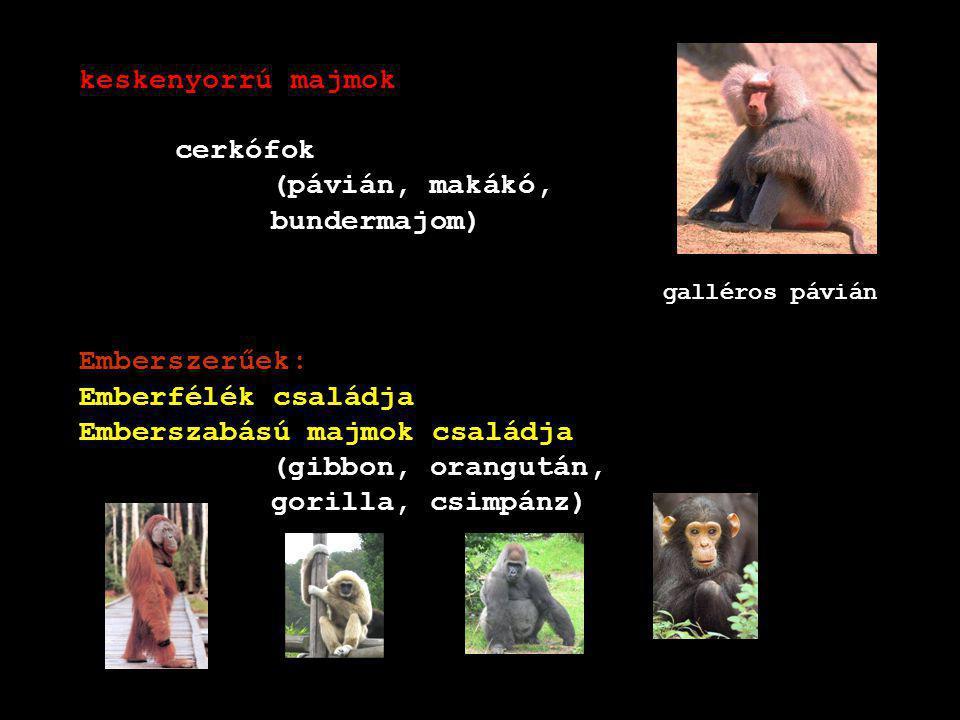 orangután gibbon DK-Ázsia, végtag 2,5x törzs, függeszkedés, család, gyümölcsevő Borneo, Szumátra, fán él, éjszaka fészket épít, gyümölcsevő