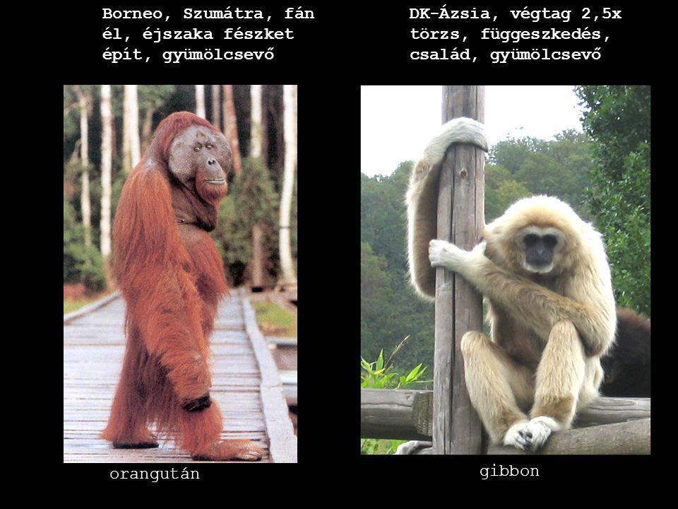 csimpánz gorilla Afrika, fejlett szociális élet, földön is mozog, 500cm3 agy (embernél kisebb homlok-, halántéklebeny, nagyobb nyakszirtlebeny és kisagy Afrika, földön is mozog, 200kg, 2m, 700 cm3 agytérfogat, csapatban, növényevő