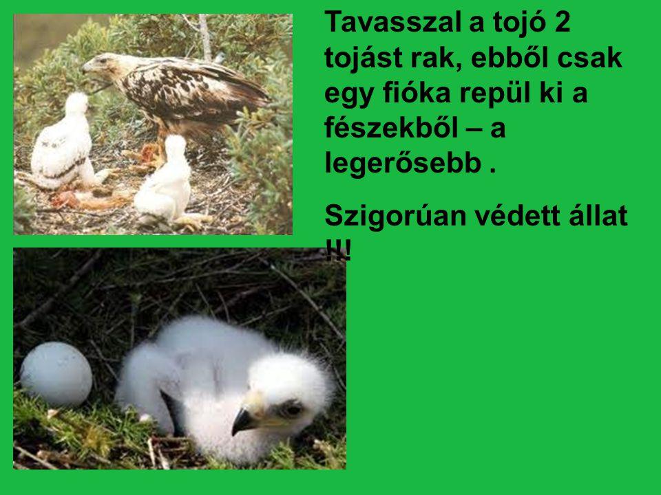 Tavasszal a tojó 2 tojást rak, ebből csak egy fióka repül ki a fészekből – a legerősebb. Szigorúan védett állat !!!