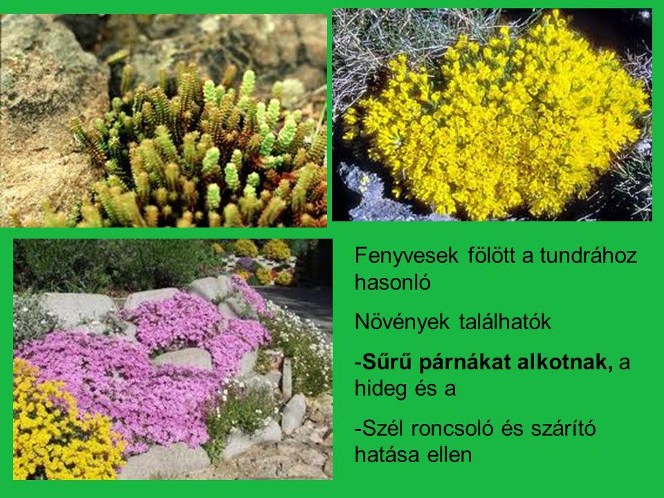 Magassága: 15cm Levelei : hosszúkásak virágai : ernyőszerű virágzatot alkotnak, Testét : fehér, bársonyos növényi szőr borítja, amely védi hidegtől és Az erős napsütéstől Havasi gyopár