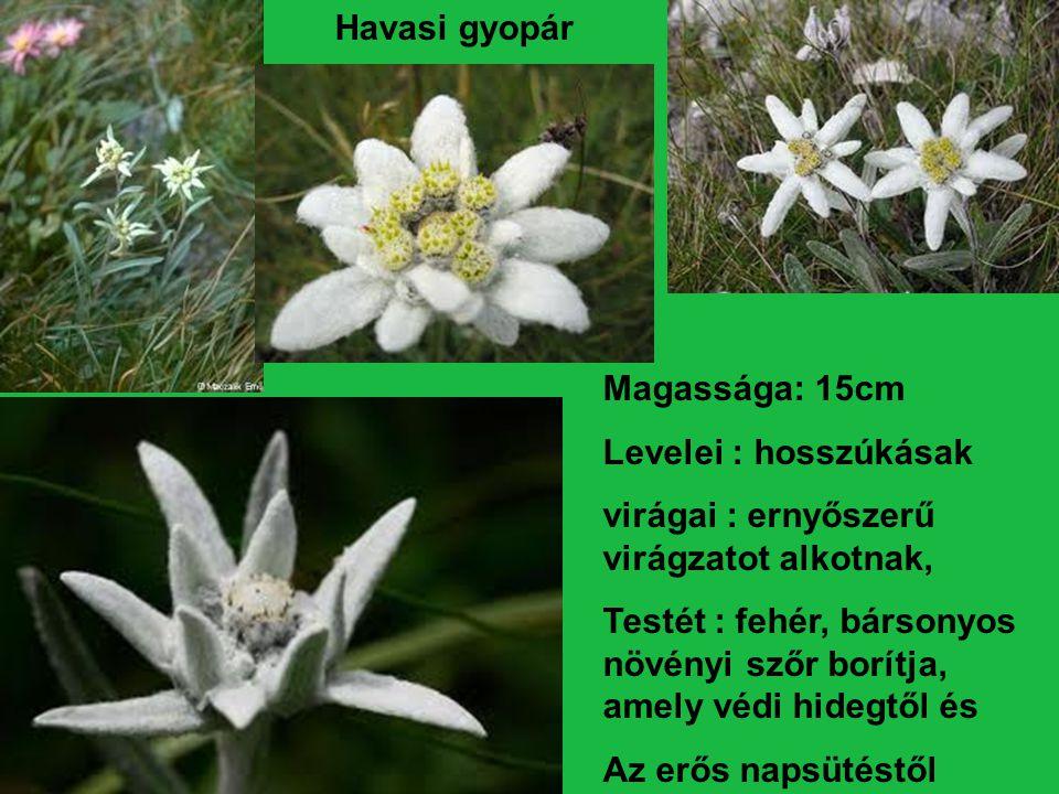 Magassága: 15cm Levelei : hosszúkásak virágai : ernyőszerű virágzatot alkotnak, Testét : fehér, bársonyos növényi szőr borítja, amely védi hidegtől és