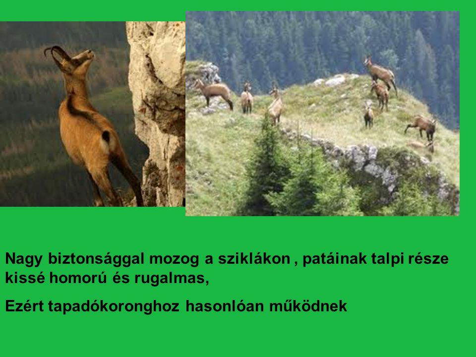 Szirti sas A magas hegységek legnagyobb testű ragadozó madara- a szirti sas Szárnyainak fesztávolsága : 2m.