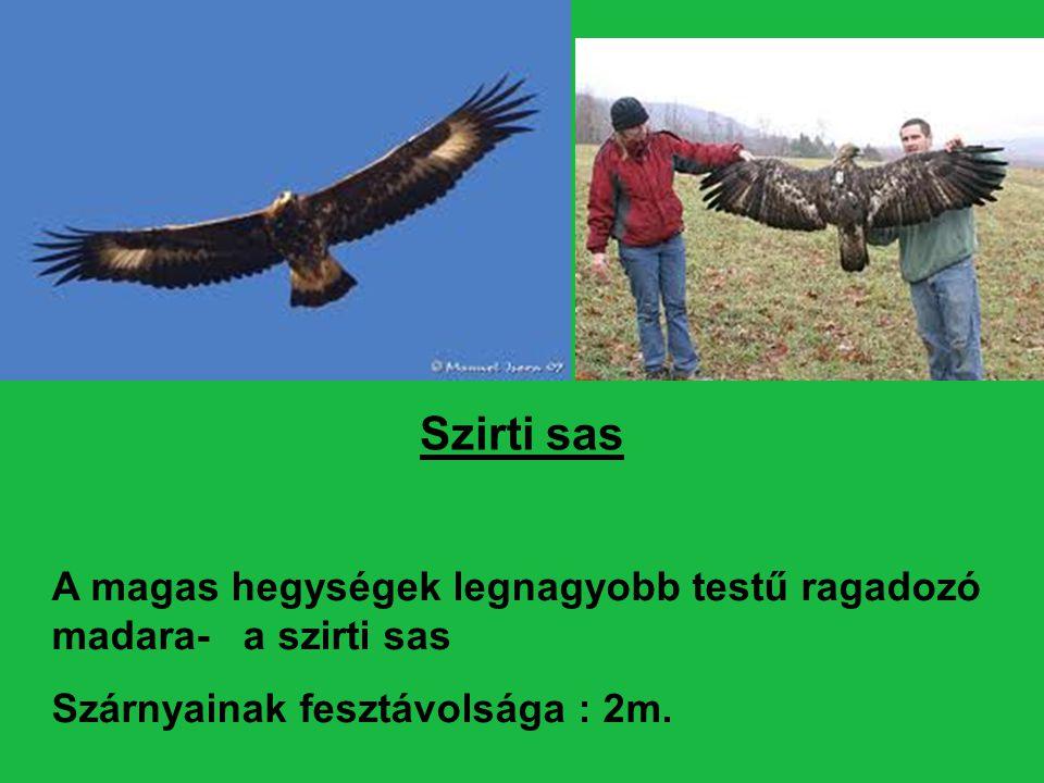Egész testét a lábujjakig sötétbarna toll borítja csak a feje teteje és a szárny középső fedő tollai aranysárgák.