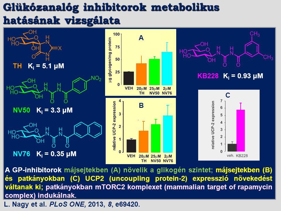 Glükózanalóg inhibitorok metabolikus hatásának vizsgálata A GP-inhibitorok májsejtekben (A) növelik a glikogén szintet; májsejtekben (B) és patkányokb