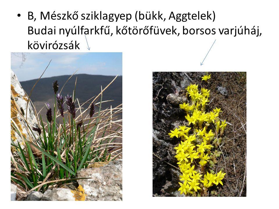 B, Mészkő sziklagyep (bükk, Aggtelek) Budai nyúlfarkfű, kőtörőfüvek, borsos varjúháj, kövirózsák