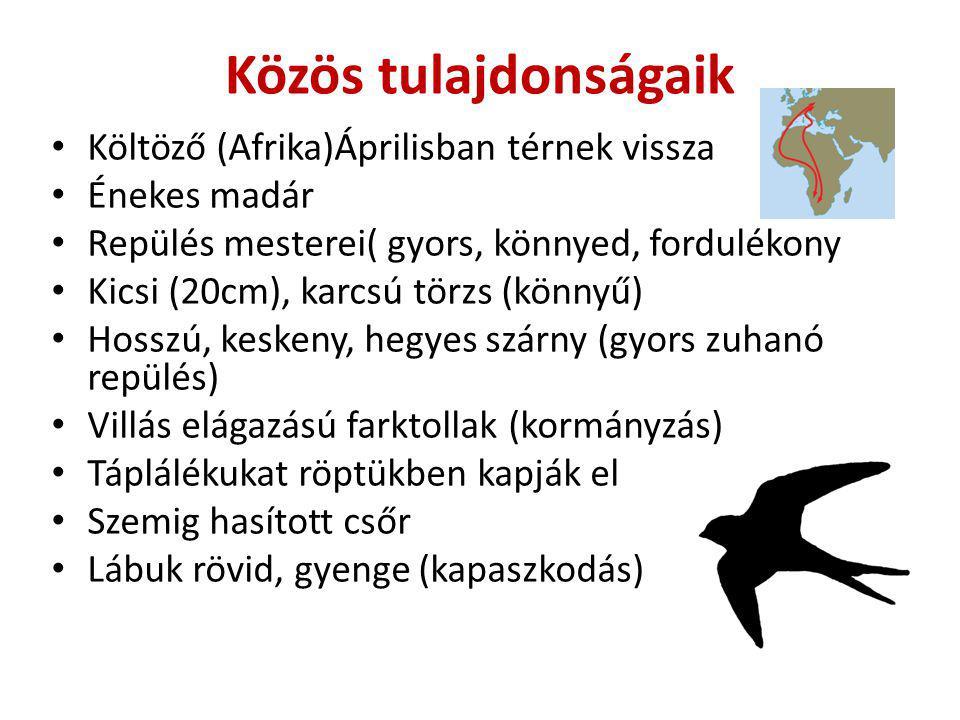 Közös tulajdonságaik Költöző (Afrika)Áprilisban térnek vissza Énekes madár Repülés mesterei( gyors, könnyed, fordulékony Kicsi (20cm), karcsú törzs (k