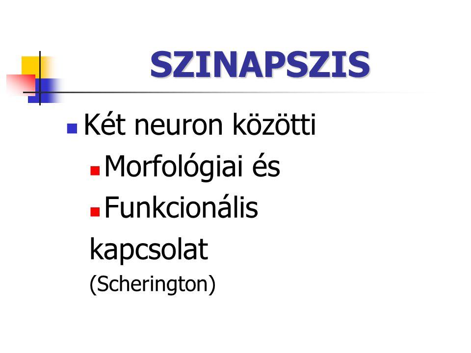 SZINAPSZIS Két neuron közötti Morfológiai és Funkcionális kapcsolat (Scherington)