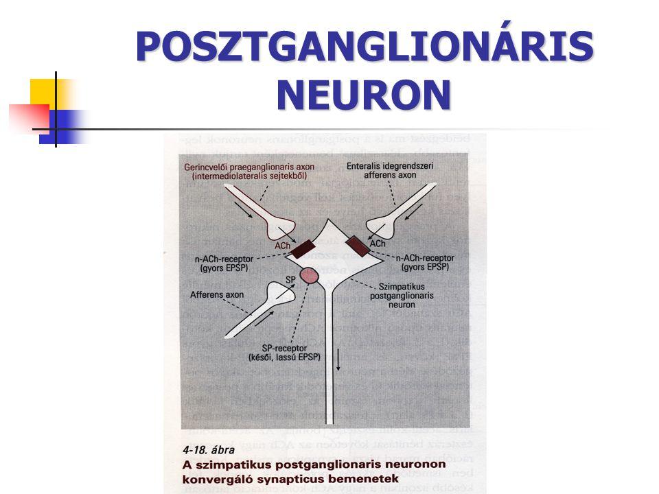 POSZTGANGLIONÁRIS NEURON