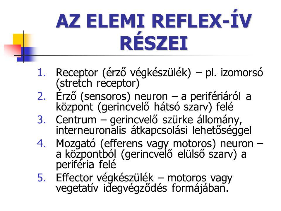 AZ ELEMI REFLEX-ÍV RÉSZEI 1.Receptor (érző végkészülék) – pl. izomorsó (stretch receptor) 2.Érző (sensoros) neuron – a perifériáról a központ (gerincv