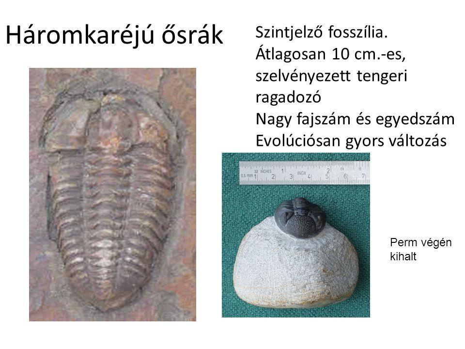 Szintjelző fosszília. Átlagosan 10 cm.-es, szelvényezett tengeri ragadozó Nagy fajszám és egyedszám Evolúciósan gyors változás Háromkaréjú ősrák Perm