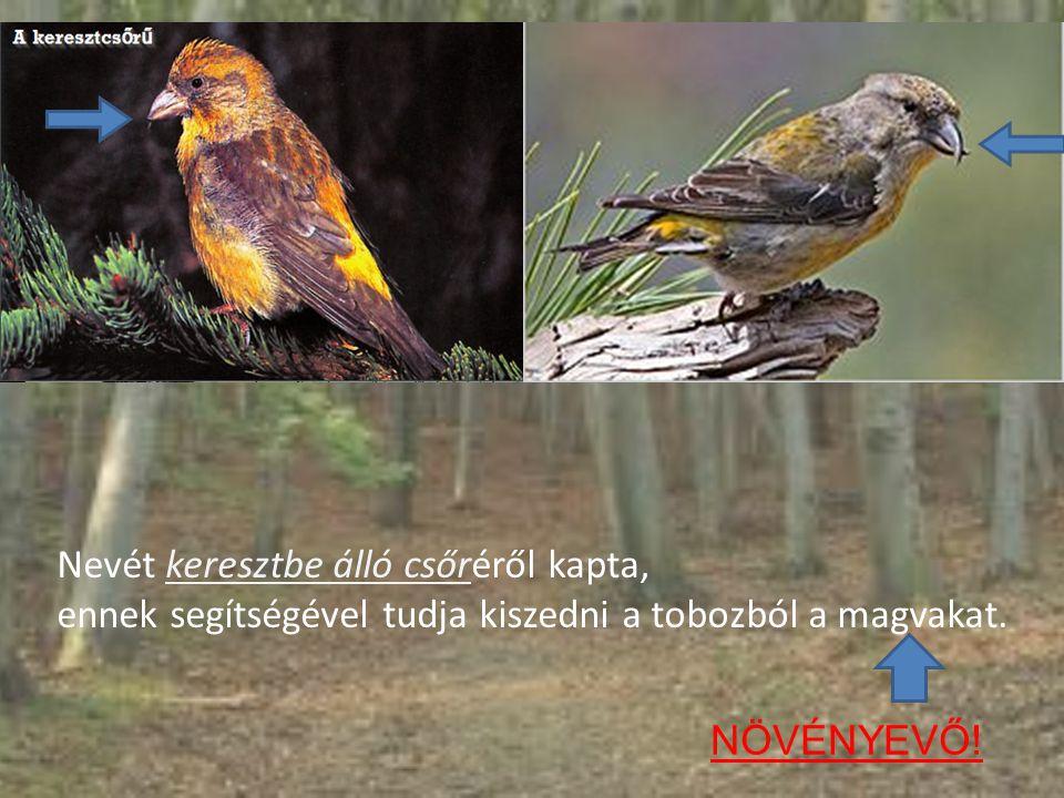 Megjelenése: hossza 16-17 centiméter szárnyfesztávolsága 27-31 centiméter testtömege 35-50 gramm A hím téglavörös A tojó olajzöld, farkcsíkja sárga nagyjából veréb méretű