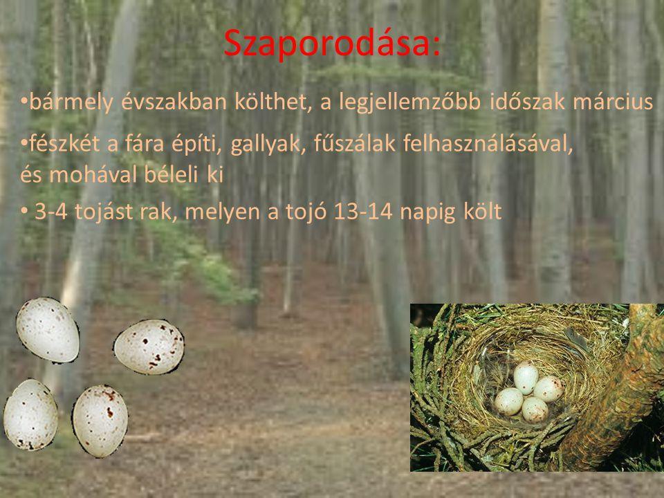Szaporodása: bármely évszakban költhet, a legjellemzőbb időszak március fészkét a fára építi, gallyak, fűszálak felhasználásával, és mohával béleli ki 3-4 tojást rak, melyen a tojó 13-14 napig költ