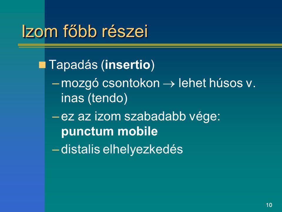 10 Izom főbb részei Tapadás (insertio) –mozgó csontokon  lehet húsos v. inas (tendo) –ez az izom szabadabb vége: punctum mobile –distalis elhelyezked
