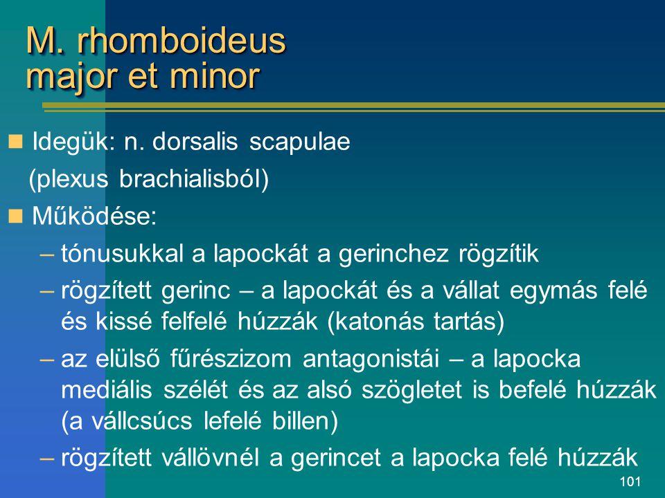 101 M. rhomboideus major et minor Idegük: n. dorsalis scapulae (plexus brachialisból) Működése: –tónusukkal a lapockát a gerinchez rögzítik –rögzített