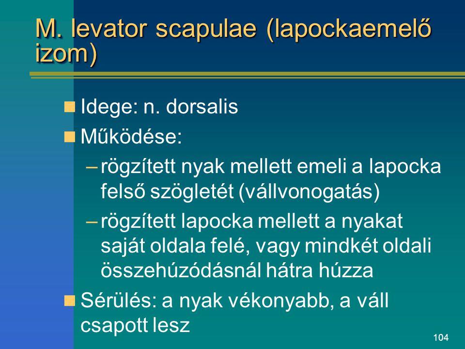 104 M. levator scapulae (lapockaemelő izom) Idege: n. dorsalis Működése: –rögzített nyak mellett emeli a lapocka felső szögletét (vállvonogatás) –rögz