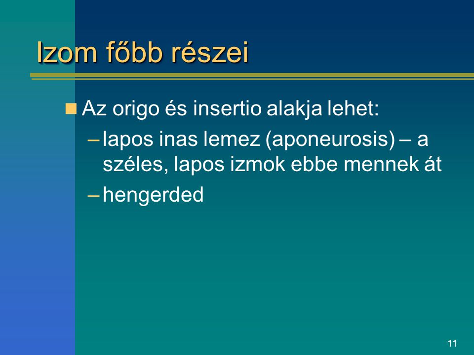 11 Izom főbb részei Az origo és insertio alakja lehet: –lapos inas lemez (aponeurosis) – a széles, lapos izmok ebbe mennek át –hengerded