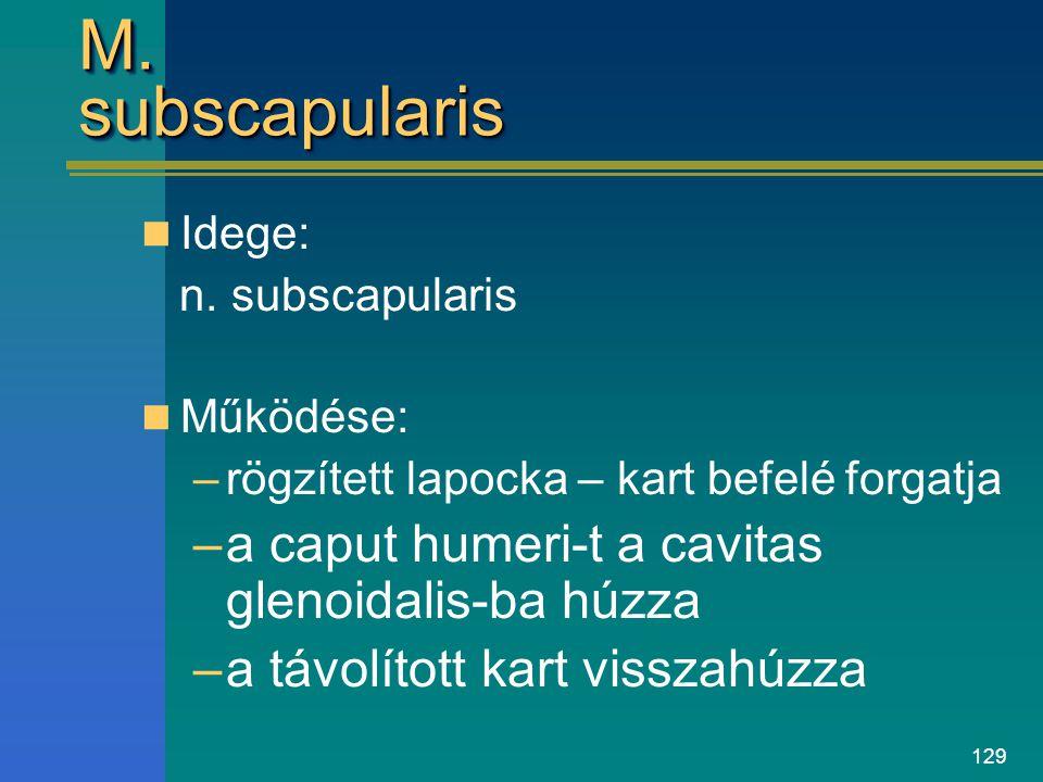 129 M. subscapularis Idege: n. subscapularis Működése: –rögzített lapocka – kart befelé forgatja –a caput humeri-t a cavitas glenoidalis-ba húzza –a t