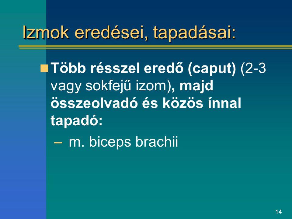 14 Izmok eredései, tapadásai: Több résszel eredő (caput) (2-3 vagy sokfejű izom), majd összeolvadó és közös ínnal tapadó: –m. biceps brachii