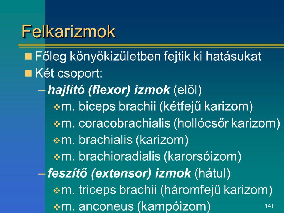 141 FelkarizmokFelkarizmok Főleg könyökizületben fejtik ki hatásukat Két csoport: –hajlító (flexor) izmok (elöl)  m. biceps brachii (kétfejű karizom)