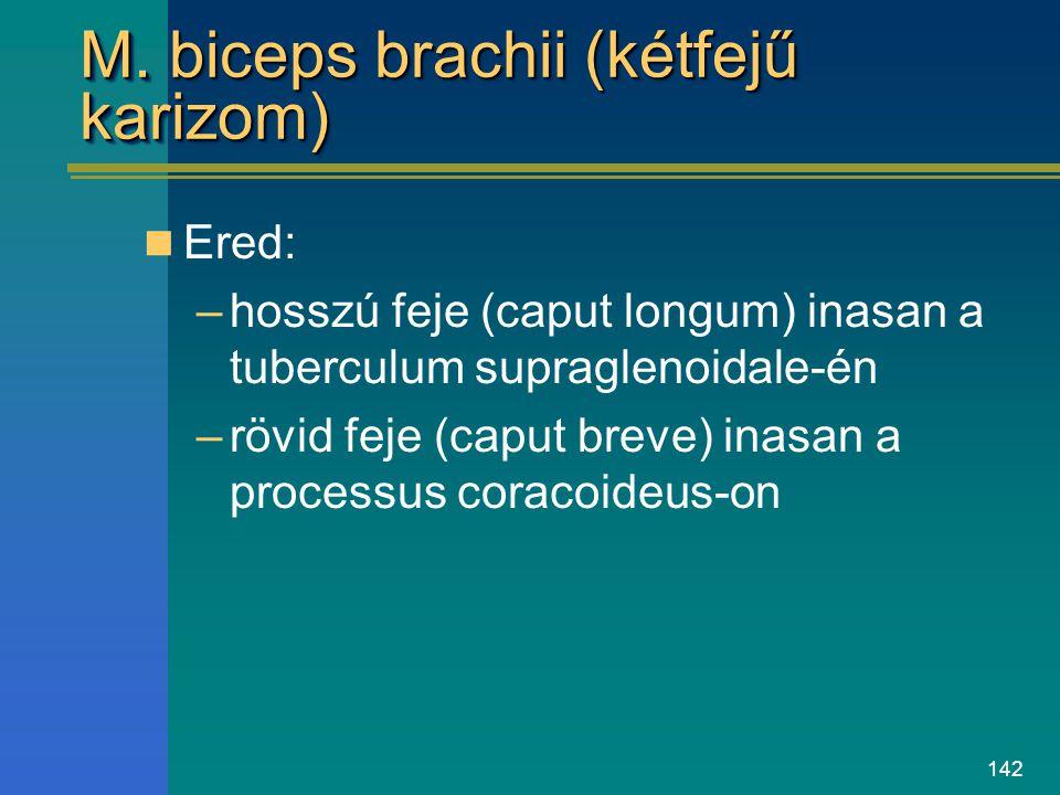 142 M. biceps brachii (kétfejű karizom) Ered: –hosszú feje (caput longum) inasan a tuberculum supraglenoidale-én –rövid feje (caput breve) inasan a pr