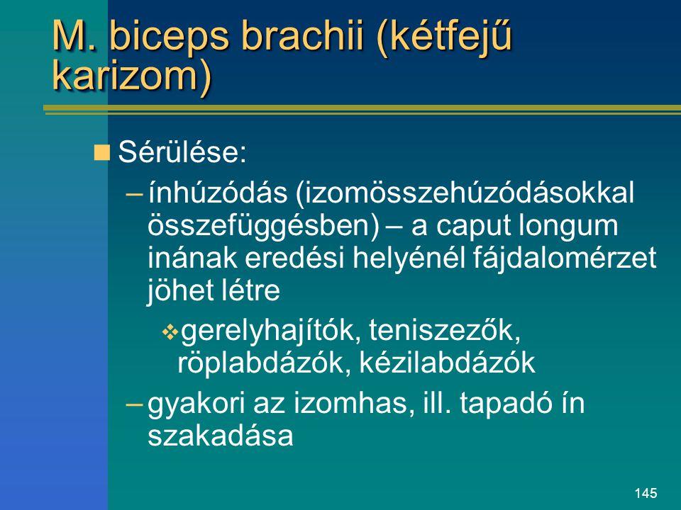 145 M. biceps brachii (kétfejű karizom) Sérülése: –ínhúzódás (izomösszehúzódásokkal összefüggésben) – a caput longum inának eredési helyénél fájdalomé