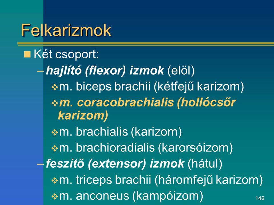 146 FelkarizmokFelkarizmok Két csoport: –hajlító (flexor) izmok (elöl)  m. biceps brachii (kétfejű karizom)  m. coracobrachialis (hollócsőr karizom)