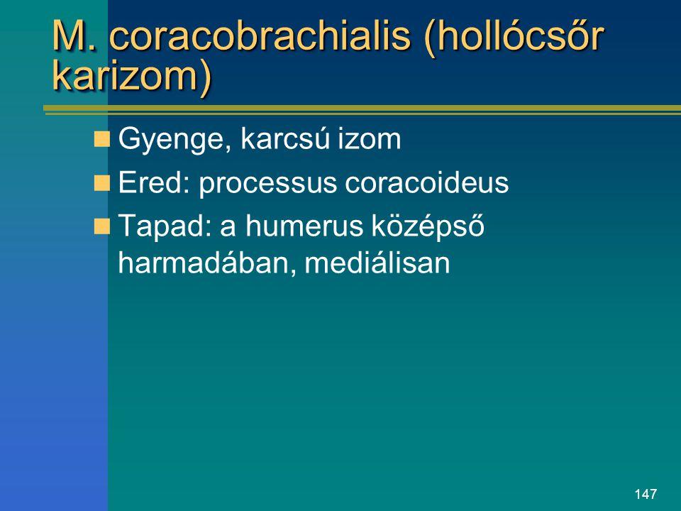 147 M. coracobrachialis (hollócsőr karizom) Gyenge, karcsú izom Ered: processus coracoideus Tapad: a humerus középső harmadában, mediálisan
