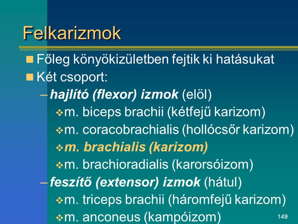 149 FelkarizmokFelkarizmok Főleg könyökizületben fejtik ki hatásukat Két csoport: –hajlító (flexor) izmok (elöl)  m. biceps brachii (kétfejű karizom)